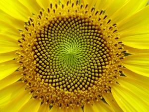 SunflowerSpirals