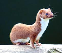 Here's a pic of a weasel especially for Jamie ... they are slinky little critters ...