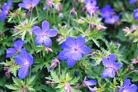 Blue Cranesbill from www.landmarklandscapes.us