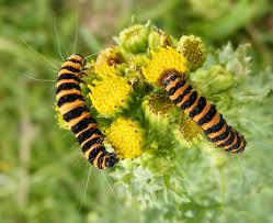 Cinnabar Moth Caterpillars from www.glaucus.org.uk
