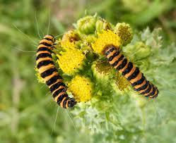 Cinnabar Moth Caterpillars from www.glaucus.org.uk