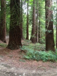 Giant Sequoias at The Hurst