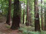 Giant Sequoias at The Hurst