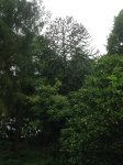 A clearer view of the Monkey Puzzle
