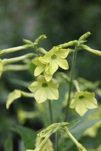 Nicotiana Alata 'Lime Green' acknowledgement to crocus.co.uk