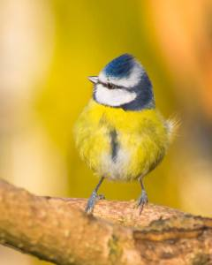 'Blue Tit'  photo by Mike Boyes