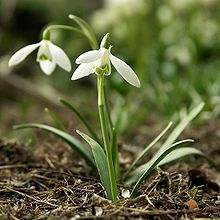 Galanthus nivalis-small snowdrop