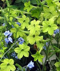 Nicotiana alana - lime - anniesannuals.com