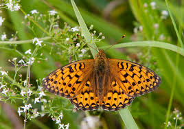Fritillary–butterfly-conservation.org