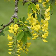 laburnum - crocus.co.uk.jpg