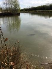 Carp in Lake 6